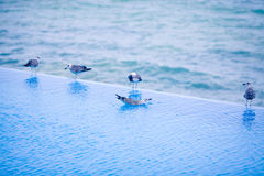 Young seagulls on the pool's edge Royalty Free Stock Image