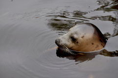 Young seal. Bobbing in the water Royalty Free Stock Images