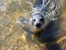 Young seal Stock Image