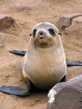 Young seal Stock Photos