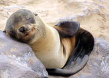 Young seal Royalty Free Stock Photography