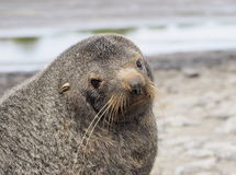 Young seal Antarctica Royalty Free Stock Images