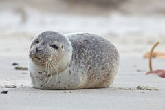 Young seal at the beach Royalty Free Stock Photos