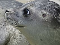 Young seal. Portrait of a young seal in Netherlands Stock Photography