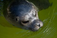 Young seal swims in a lake stock photo