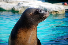 Young Seal in the Vienna zoo Royalty Free Stock Images