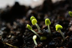 Young Seed basil. Freshly planted seeds of Ocimum basilicum. One week old basil  in the greenhouse Stock Photo