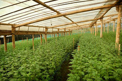 Young seed Chrysanthemum plant inside greenhouse Stock Photography