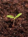 Young seedling Royalty Free Stock Photo