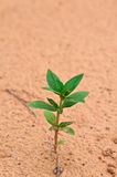 A Young Seedling Germinating From Sandy Soil Royalty Free Stock Photos