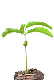 Young seedling growing Royalty Free Stock Images