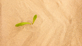 Young seedling growing in a desert sand Stock Photography