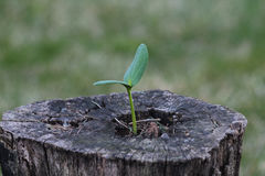 Young seedling growing in an old stump Stock Photo