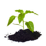 Young seedling growing in a soil. Stock Photo