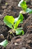 Little salad in soil Stock Images