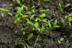 Young Seedling Parsley Or Coriander Plant Growing In Garden. royalty free stock images