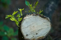 Young seedling sprout on cut log, natural fresh green spring background. Hope strong concept.  stock images