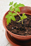 Young seedling of tomato growing in a soil. Stock Photos