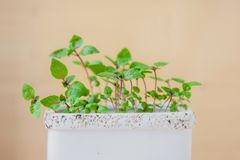 Young seedlings of basil. Green leaves in a pot stock images