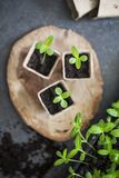 Young green seedlings Royalty Free Stock Photo