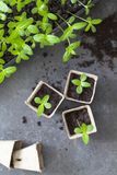 Young zinnia seedlings Royalty Free Stock Photos