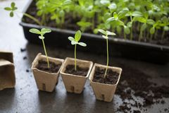 Young zinnia seedlings. Young seedlings being transplanted from tray to pots royalty free stock photos