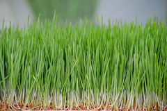 Young seedlings of green wheat sprouts close up. Stock Photography