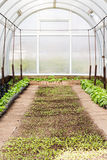 Young seedlings growing in greenhouse Royalty Free Stock Photos