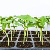 Young seedlings Stock Image