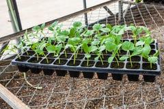 Young seedlings Stock Photography