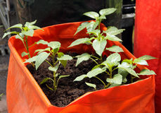 Young seedlings of pepper Stock Photo