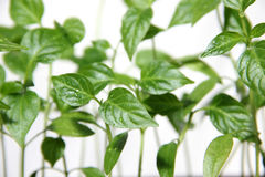 Young seedlings of pepper. Young plants of red pepper Royalty Free Stock Images