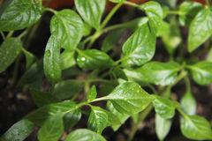 Young seedlings of pepper. Young plants of red pepper Stock Photography