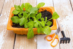 Young seedlings petunias in the orange container Royalty Free Stock Photos