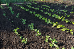 Young seedlings planted out in a veggie garden Stock Photography
