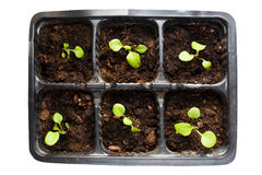 Young seedlings plants in tray. With soil stock photo