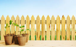 Young seedlings in pots near wooden fence against blue sky Royalty Free Stock Photo