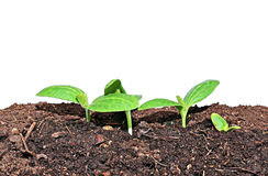 Young seedlings of pumpkin closeup isolated Stock Images