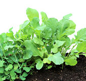 Young seedlings of radishes closeup isolated Stock Photos