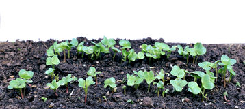 Young seedlings of radishes closeup isolated Royalty Free Stock Photos