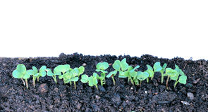 Young seedlings of radishes closeup isolated Stock Photography