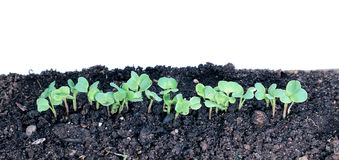 Young seedlings of radishes closeup isolated Royalty Free Stock Photo