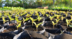 Young seedlings in small pots Royalty Free Stock Image