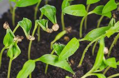 Young seedlings of sweet pepper with water drops stock photos