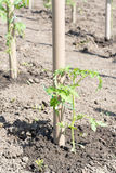 Young seedlings of tomatoes attached to the poles Royalty Free Stock Images