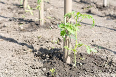 Young seedlings of tomatoes attached to the poles Royalty Free Stock Photo