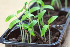 Young seedlings of tomatoes germinated from seeds. Low sprouts o. F tomatoes in plastic pots. Cultivation of tomatoes. Shallow depth of field Stock Image