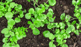 Young seedlings. Royalty Free Stock Photography