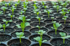 Young seedlings  in tray. Young seedlings green in tray Stock Image