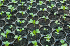 Young seedlings  in tray. Young seedlings  in tray at the greenhouse Royalty Free Stock Photography
